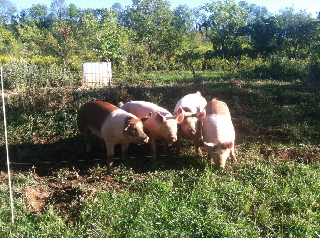 Happy hogs in the brush and weeds.