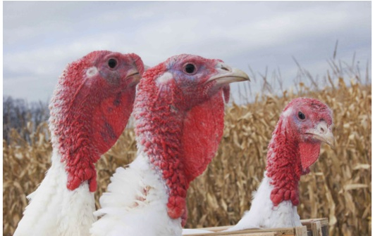 turkeys in the corn